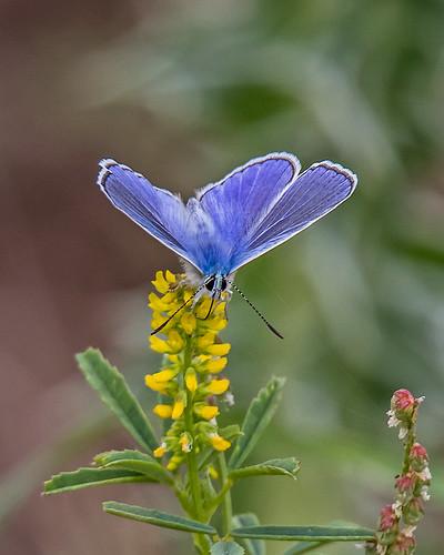 Blue  Common blue Polyommatus icarus Perasma Reservoir 16/05/18