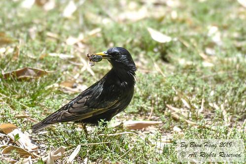 Common Starling (Sturnus vulgaris)_DSC0416-1
