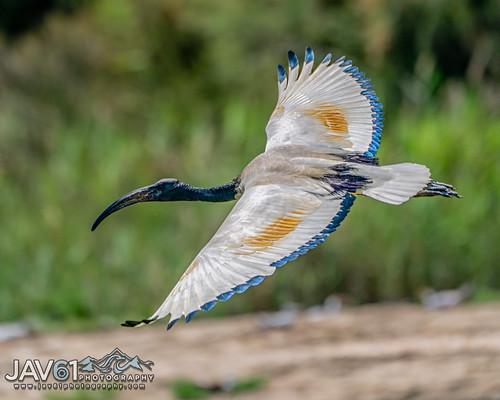 African sacred ibis (Threskiornis aethiopicus)-9530
