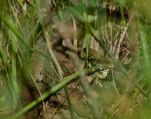 Grass Snake- Epping Forest
