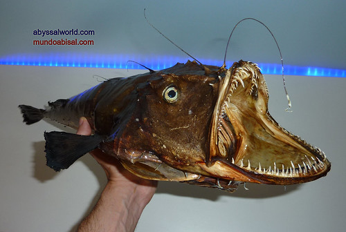 Anglerfish / Monkfish taxidermy. Mouth and jaw.