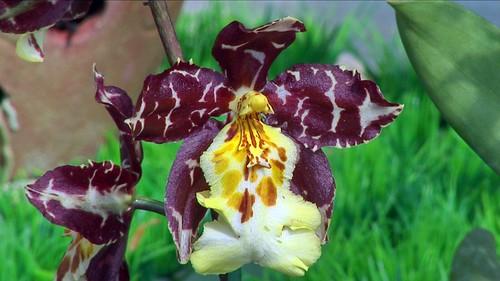 Vietnam - Dalat - Orchid Garden - 9