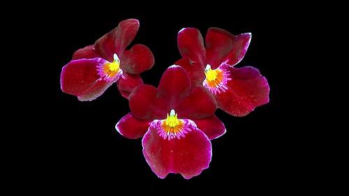 Vietnam - Dalat - Orchid Garden - 2d