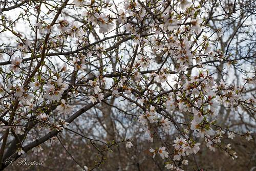 Karmaşıklık İçindeki Badem Çiçeklerinin Güzelliği (Beauty of Almond Flowers in Complexity)