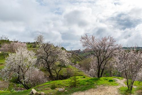 Bir Nisan Günü Harput'ta Badem Ağaçları (Almond Trees in Harput on an April Day)