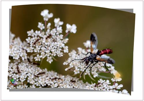 Cylindromyia bicolor :