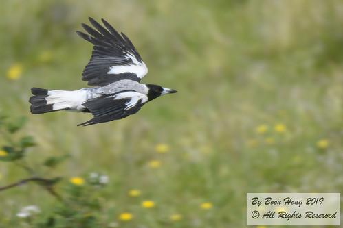 Australian Magpie (Gymnorhina tibicen)_DSC0940