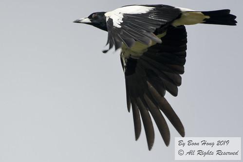 Australian Magpie (Gymnorhina tibicen)_DSC0480