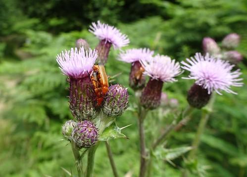 Common Soldier Beetles, Blaen Bran, Upper Cwmbran 11 July 2019