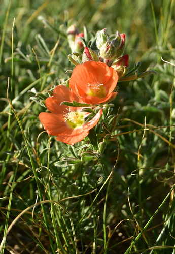 Scarlet globemallow on Arapaho National Wildlife Refuge