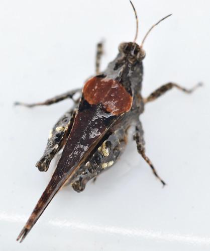 13 mm female ornate pygmy grasshopper
