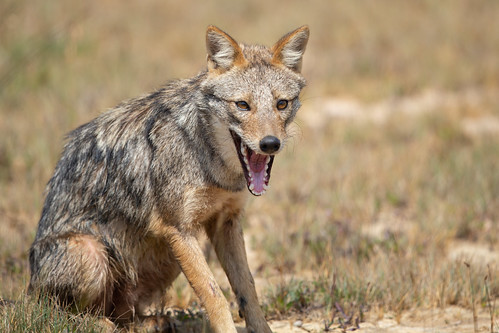Golden Jackal - Canis aureus naria