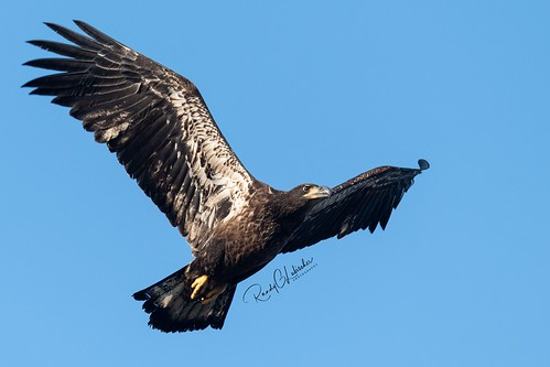 Bald Eagles of New Jersey | 2019 - 26