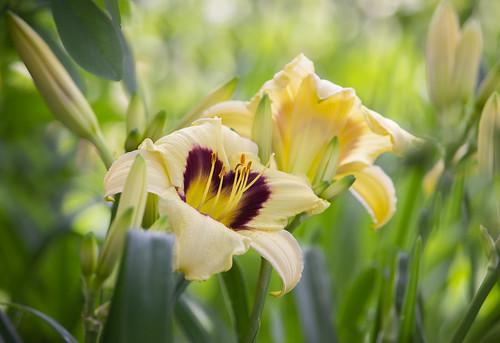 Daylilies 'Pandora's Box'