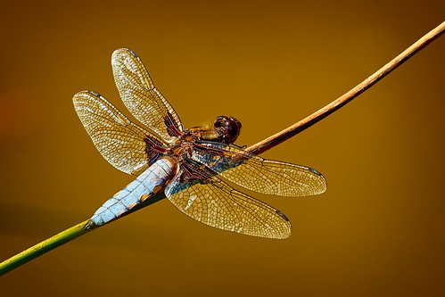 BROAD-BODIED CHASER DRAGONFLY ON HIS FAVOURITE PERCH