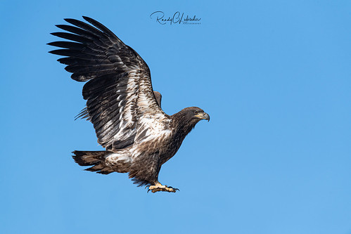 Bald Eagles of New Jersey | 2019 - 27