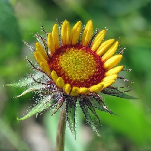 Opening Gaillardia flower