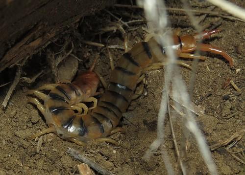 Common Desert Centipede
