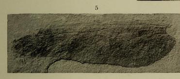 This image is taken from Nouvelles recherches sur quelques insectes du terrain houiller de Commentry (Allier) : (deuxième partie)