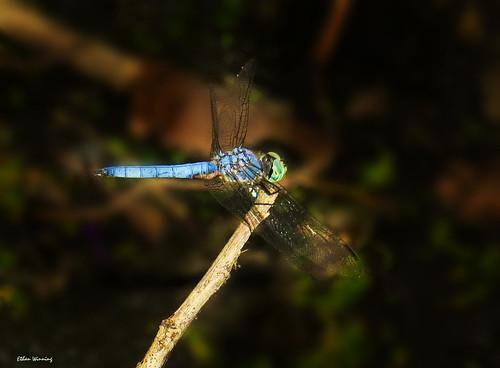 Blue Dasher Dragonfly 1282