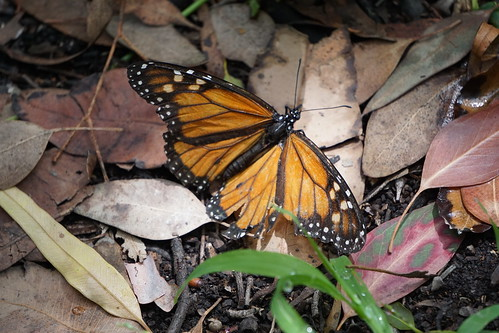 Injured Monarch