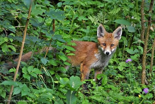 Renard roux (Vulpes vulpes) (118)