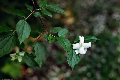 White Jasmine   Білий жасмин