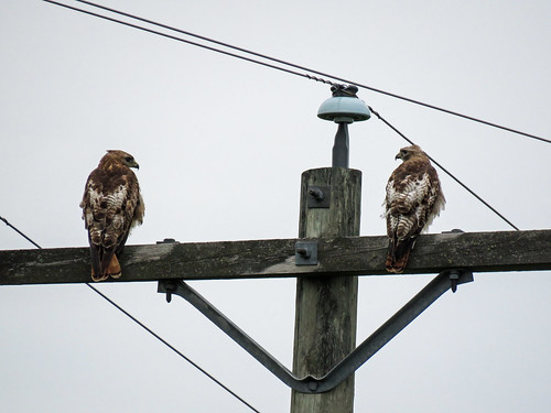 05 Immature Red-tailed Hawks