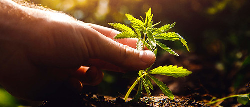 Aurora Receives License for 2 Outdoor Grow Sites