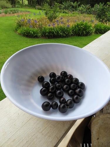 starr-190426-6420-Myrciaria_cauliflora-fruit-Hawea_Pl_Olinda-Maui