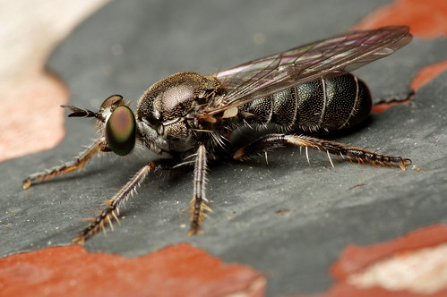 Robber Fly on an Old Bench