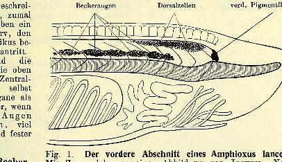 This image is taken from Page 1 of Lehrbuch der vergleichenden mikroskopischen Anatomie der Wirbeltiere