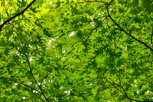 Branch of a maple with green leaves