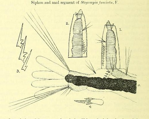 This image is taken from Page 26 of On the larval and pupal stages of West African Culicidae