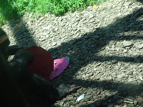DSC00649 mdbz 20190713 Chimp eating paper watermelon