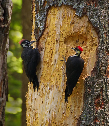Pileated Woodpecker Mother and Chick