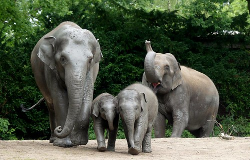 Four wonderful members of an elephant herd