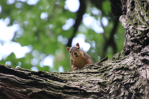 Fox Squirrels on a Hot Summer Day at the University of Michigan - July 17th, 2019