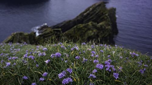 Shetland flaura