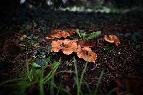 Jack-o'-lantern mushrooms (Omphalotus olearius)  -  (Selected by GETTY IMAGES)
