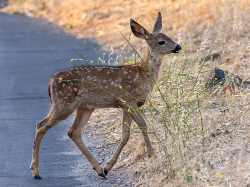 Fawn crossing the Road