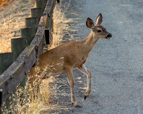 Doe going under the fence