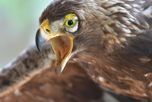 Bald Eagle juvenal