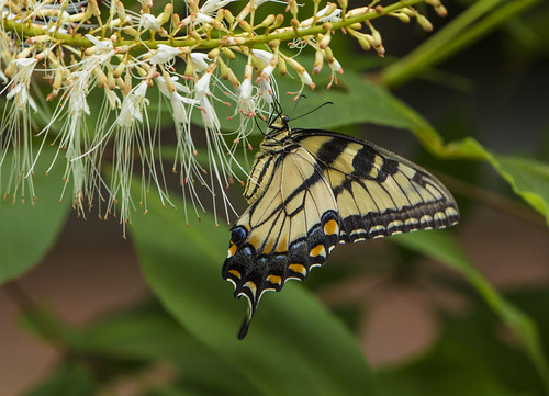 Eastern Tiger Swallowtail, female (Papilio glaucus)