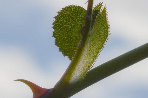 Rosa rubiginosa (Eglantine) - Stipule