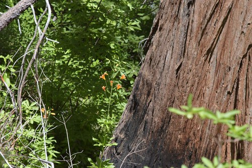 Leopard Lilies and Giant Sequoia_rs