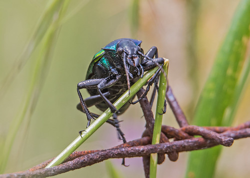 Coleoptera Beetle Forest caterpillar hunter  (calosoma sycophanta) Perasma Reservoir Lesvos 13/05/19