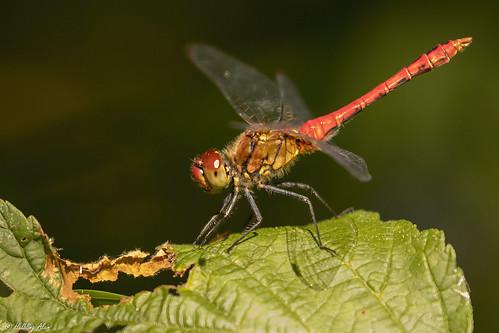 Sympétrum rouge sang mâle - (Sympetrum sanguineum) - Sympétrum red blood male