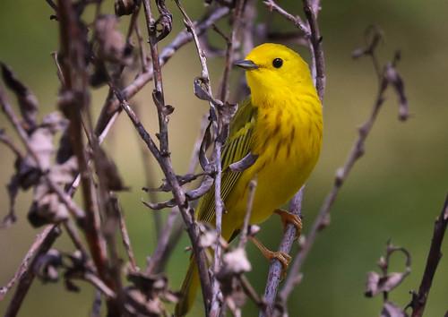 Yellow Warbler Malibu Creek State Park  Southern California -306