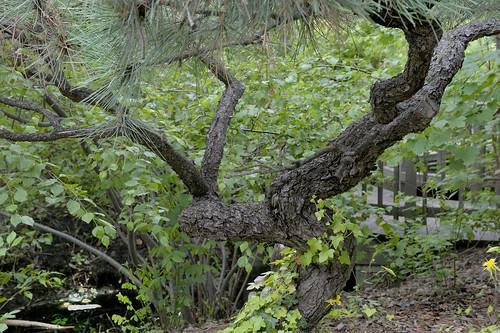 Lumbering pine
